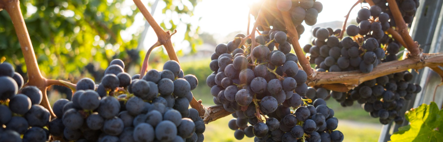 Heathcote Wine Region Grapes